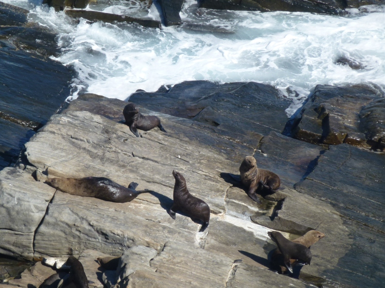 Sea lions on KI