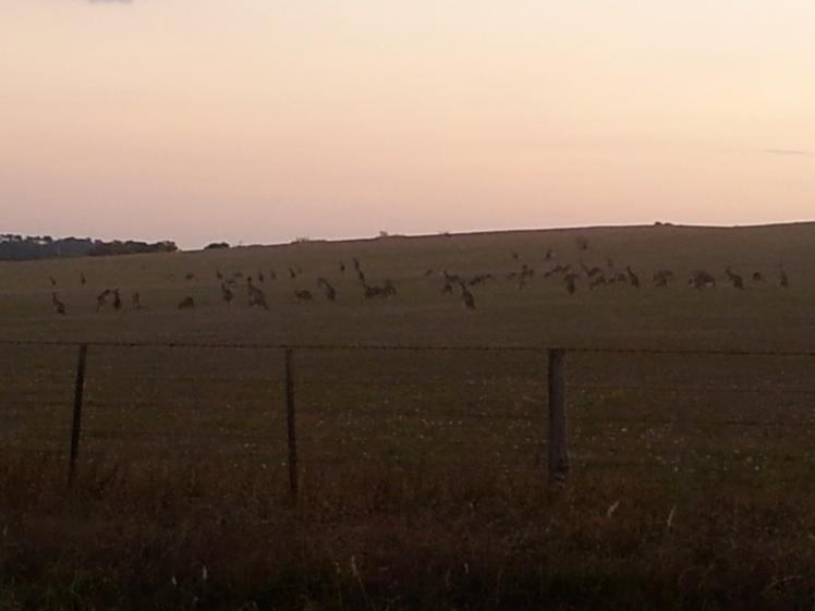 Mundane Monday kangaroos