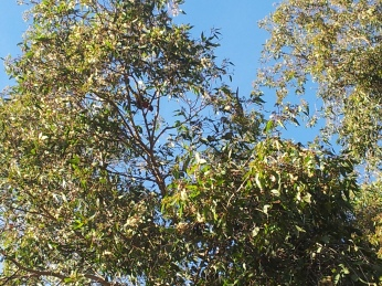 Lorikeets Singing up there