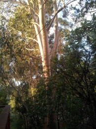 Our Lemon Scented gum
