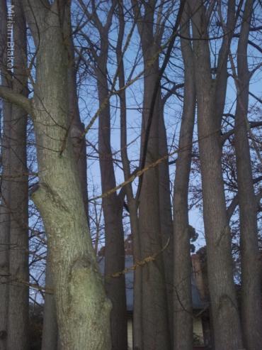 Maldon trees (600x800)