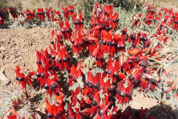 Sturt Desert Pea (800x533)