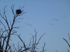 Nest and birds (800x600)