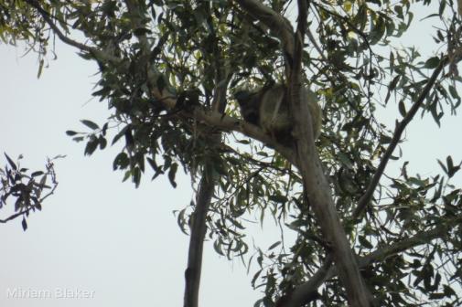 Koala (800x533)