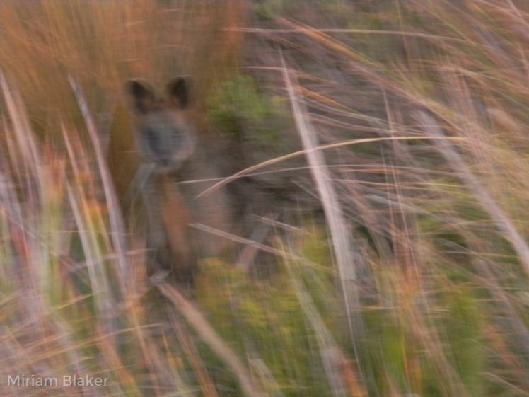 blurred-kangaroo-800x600