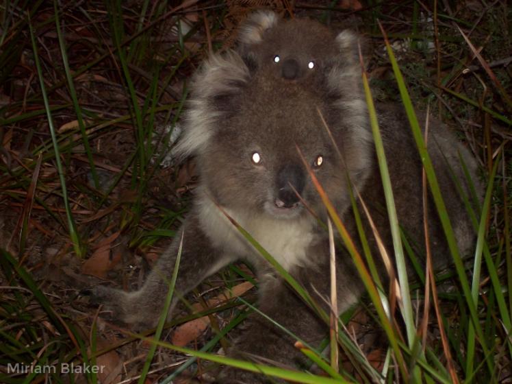 koala-and-baby-on-french-island-800x599