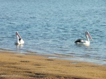 Pelicans time apart (800x600)