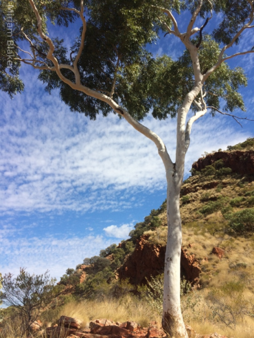 Gum at Ormiston Gorge (600x800)