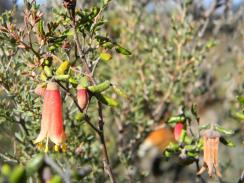 flora in the Little Desert