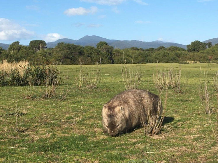 Wombat at the Prom
