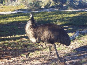 George the emu at Little Desert