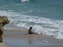 Locals at Seal Bay on Kangaroo Island