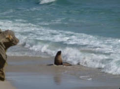 Locals at Seal Bay on Kangaroo Island