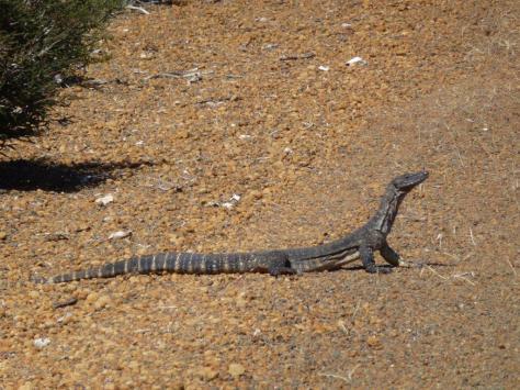 Monitor on Kangaroo Island